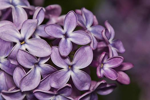 Lilac flowers by Jouko Mikkola