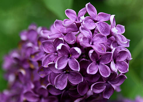 Lilac by Nora Blansett