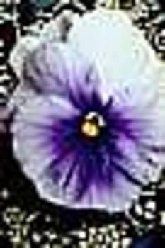 Lilac Pansy by Shirley Sacks