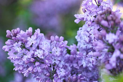 Diana Haronis - Lilacs