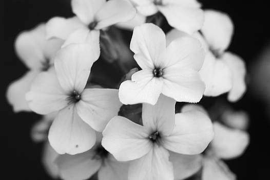 Lilacs in Black and White by Daniel Solone