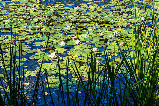 Lilly Pad Pond by Andrew Kazmierski