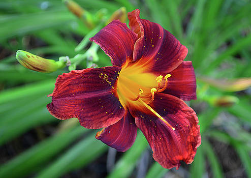 Lily in Dark Red by Sandi OReilly