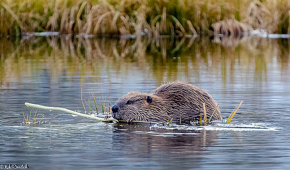 Lily Lake Beaver II by Mike Ronnebeck