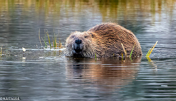 Lily Lake Beaver by Mike Ronnebeck