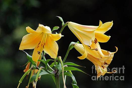 Lily Lily Where Art Thou Lily by John S