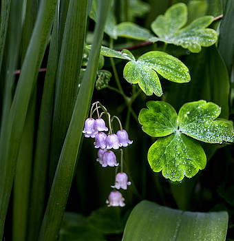 Lily of the Valley by Dan P Brodt Photography