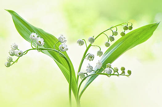 Lily of the valley by Jacky Parker