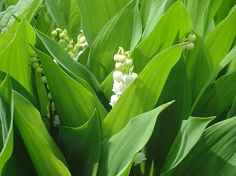 Lily of the Valley by Jeannette Brown