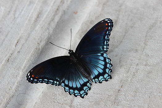 Limenitis Arthemis Astyanax by Mose Mathis