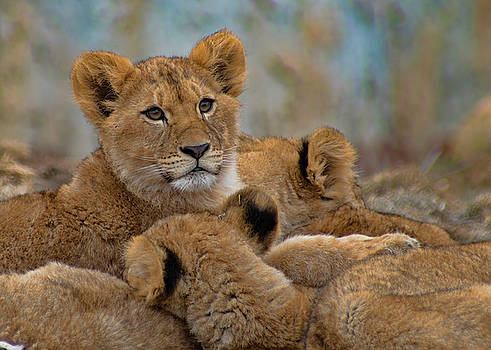Lion Cubs by Ron Grafe