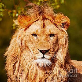 Nick  Biemans - Lion head closeup