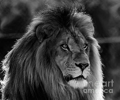 Lion Male Black and white by Roger Becker