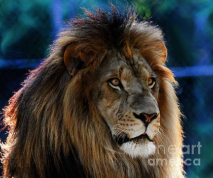 Lion Male by Roger Becker
