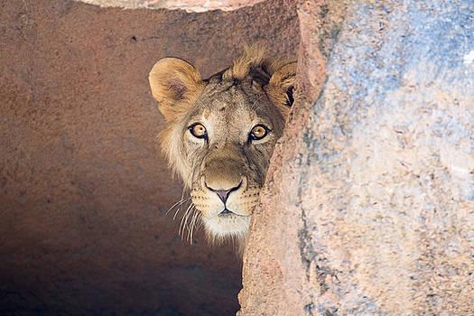 Lion peeking out a cave by Inc Pics Studios