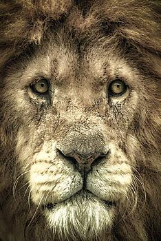 Lion Portrait by Chris Boulton