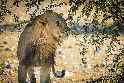 Lion Under Acacia Tree by Inge Johnsson