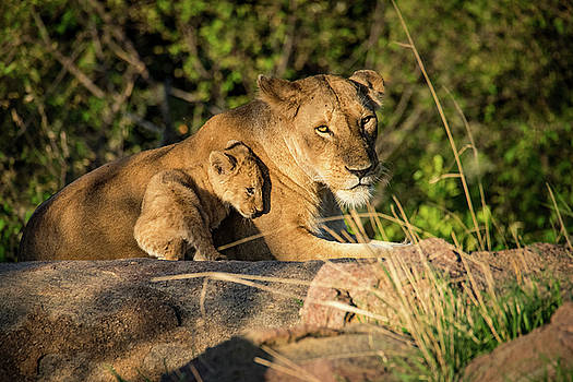 Lioness and Cub 1203 by Janis Knight