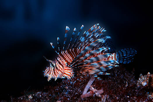 Lionfish by Nataly Rubeo
