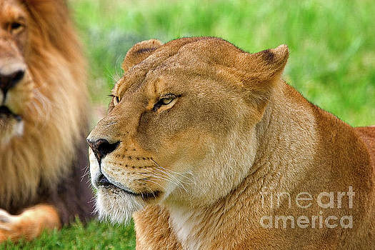 Lions dozing in the sun by Louise Heusinkveld