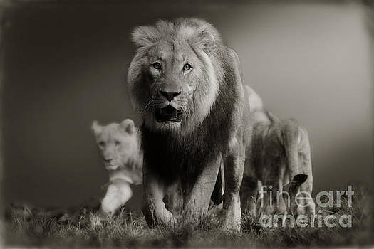 Lions on their way by Christine Sponchia