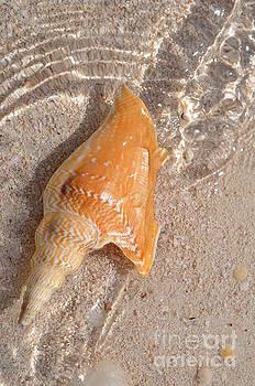 Lister's Conch by Carol McGunagle