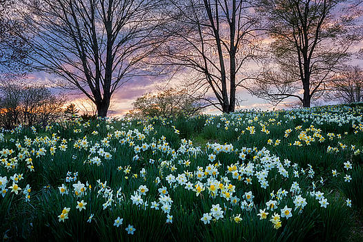 Litchfield Daffodils by Bill Wakeley