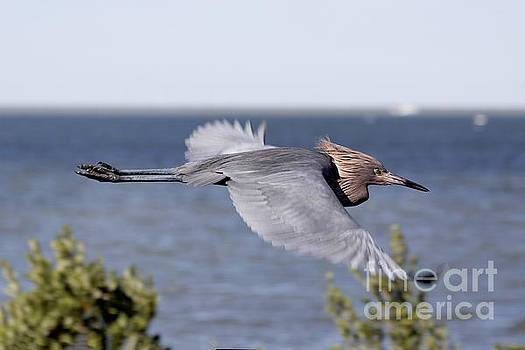 Little Blue Heron in Flight V2 by Douglas Barnard