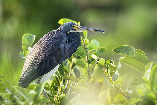 Saija  Lehtonen - Tri-colored Heron