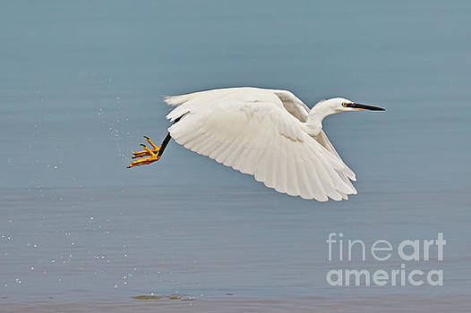 Little egret in flight by Nick  Biemans