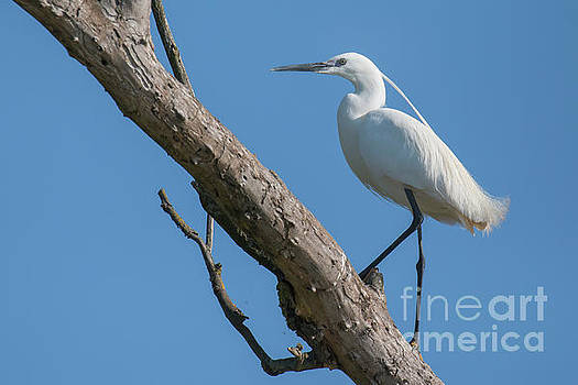 Little egret by Jivko Nakev