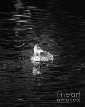 Little Grebe by Michael McStamp