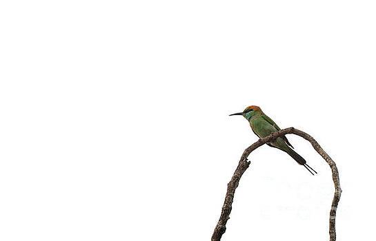 Little Green Bee Eater  Merops orientalis  by Venura Herath