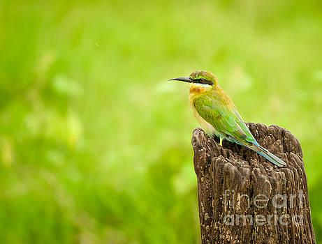 Little Green Bee-eater by Venura Herath