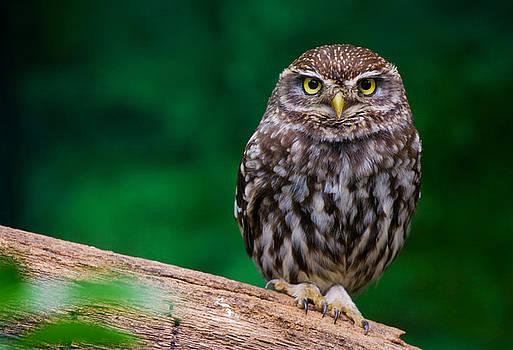Little owl by Dean Bertoncelj