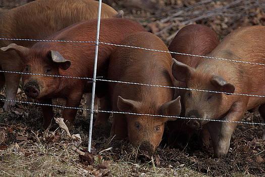 Little Piggies by Chris Burke