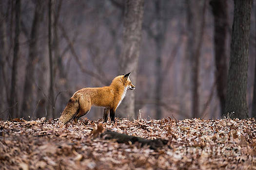 Little Red Fox by Andrea Silies