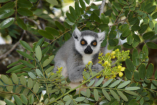 Michele Burgess - Little Ring-Tailed Lemur