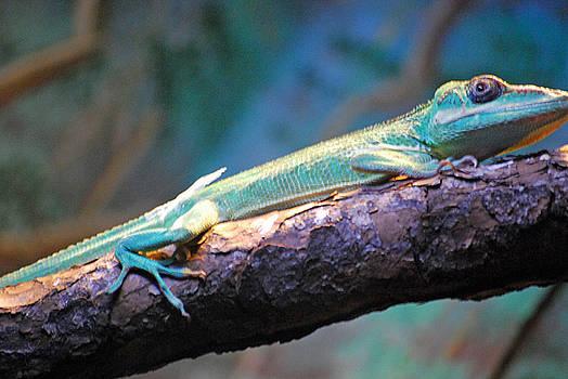 Lizard by Peter  McIntosh