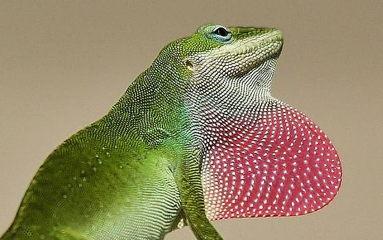 Paulette Thomas - Lizard with his Red Bubble