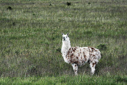 Llama by John Greim