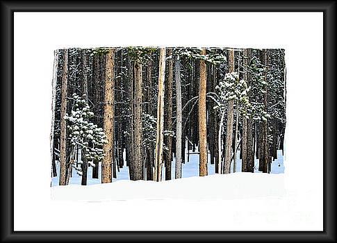 Lodge Pole Pine by Carole Martinez