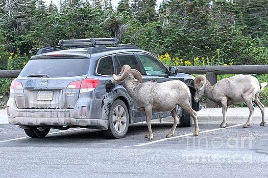 Adam Jewell - Logan Pass Bighorn Bandits