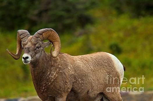 Adam Jewell - Logan Pass Bighorn Sheep Ram