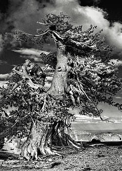 Christine Till - Lone gnarled old Bristlecone Pines at Crater Lake - Oregon