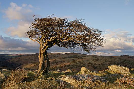 Lone tree on Dartmoor by Pete Hemington