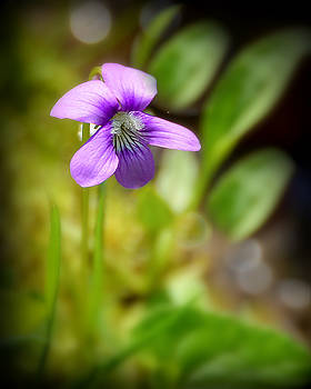 Lone Violet by Kerry Hauser