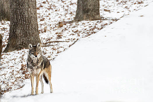 Lone Winter Coyote by Andrea Silies