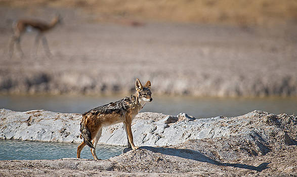 Lonely Jackal by Sandy Schepis