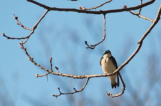 Rosanne Jordan - Lonely Tree Swallow